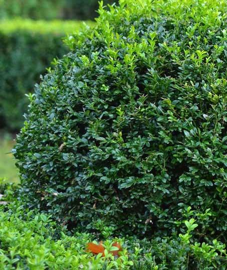 Ubiquitous Landscape Solutions Shrubs & Hedges